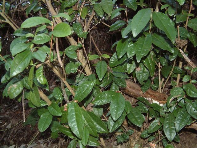 チャノキ(茶の木) 属名 ツバキ科ツバキ属 学名 Camellia sinensis 別名 名の
